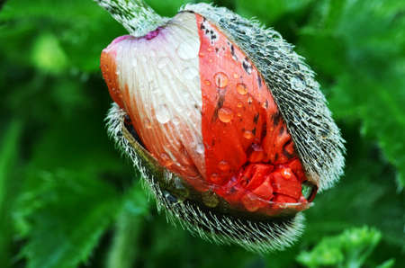 Closeup of the poppy buds with drops of dew.