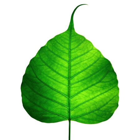 green leaf vein ( bodhi leaf ) on white background