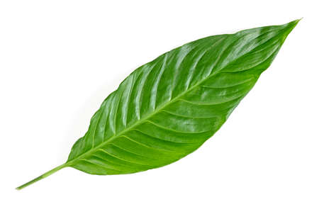 Photo pour Leaf of tropical spathiphyllum plant isolated on white background - image libre de droit