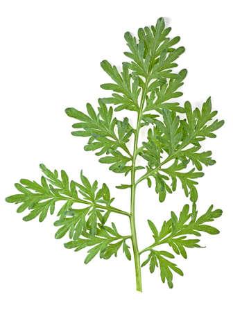 Foto de Leaf of wormwood isolated on white background - Imagen libre de derechos