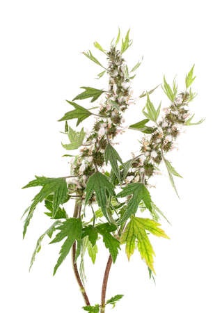 Photo for Blooming Leonurus cardiaca or motherwort on a white background - Royalty Free Image