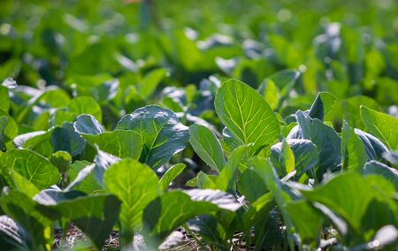Foto per Chinese Kale planted in the garden - Immagine Royalty Free