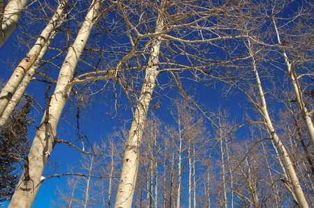 A grove of aspens in winter against a blue sky