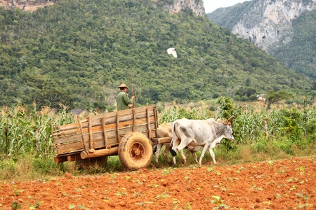 Working on Vinales tobacco fields