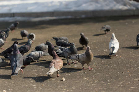 Foto de Many pigeons are eating food - Imagen libre de derechos