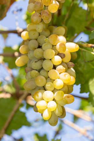 Foto für white overripe grapes, insects ate, afternoon sun autumn - Lizenzfreies Bild