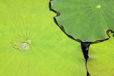 background of overlapping green water lilly pads in bangkok thailand