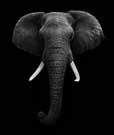 Elephant head on Black Background
