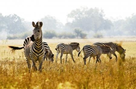 Photo pour Zebra - image libre de droit