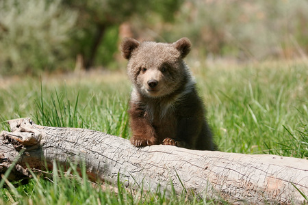 Grizzly bear cub (Ursus arctos) sitting on the log in green grass