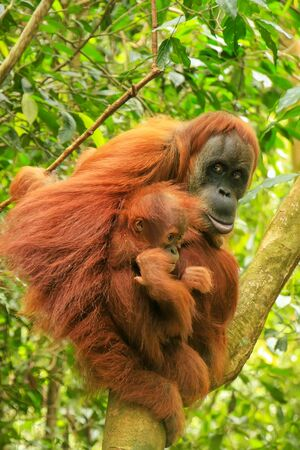 Photo pour Female Sumatran orangutan with a baby sitting on a tree in Gunung Leuser National Park, Sumatra, Indonesia. Sumatran orangutan is endemic to the north of Sumatra and is critically endangered. - image libre de droit