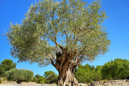 Photo pour Old large olive tree growing near Pont du Gard, southern France. - image libre de droit