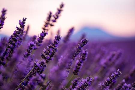 Photo pour Close up Bushes of lavender purple aromatic flowers at lavender field in summer near valensole in provence france - image libre de droit