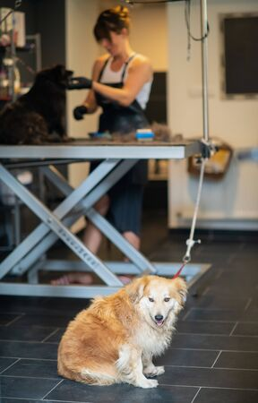 professional pet hairdresser hipster woman with tattoos cutting fur of cute black dog in beauty salon for animals