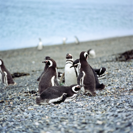 Photo pour Magellanic penguins  Spheniscus magellanicus , Penguin Island, Beagle Channel, Ushuaia, Argentina - image libre de droit