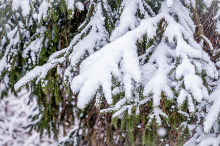 Photo pour Snow covered green spruce branches in winter. Green branches of a Christmas tree covered with white snow in the sunlight. Natural winter background - image libre de droit