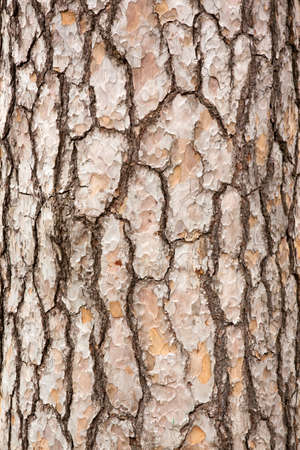 Pine Tree Trunk Bark
