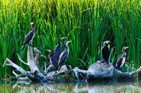 cormorants in the danube delta