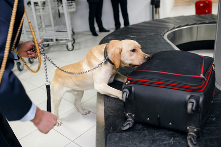 Foto de Drug detection dog at the airport in luggages.Horizontal view - Imagen libre de derechos