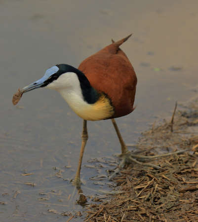 Photo pour A closeup photo of an African jacana bird with a catch in its beak  in the Kruger National Park - image libre de droit