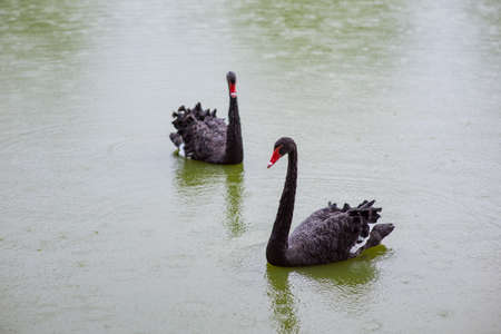 Photo for Two Black Swans in a pond - Royalty Free Image