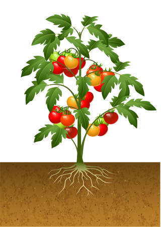 Illustration pour vector illustration of Tomato plant with root under the ground - image libre de droit