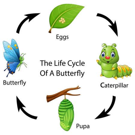 Ilustración de Vector illustration of The life cycle of a butterfly - Imagen libre de derechos