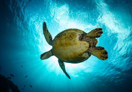 Photo pour Hawaiian green sea turtles cruising over coral reef in clear blue tropical water. - image libre de droit