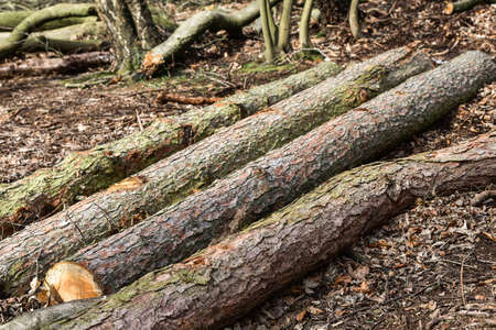 Felled lumber logs in the forest