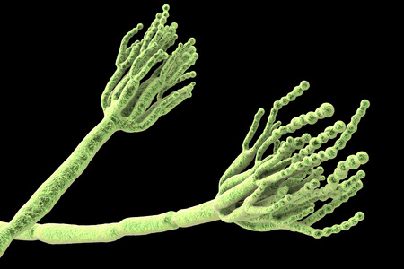 Fungi Penicillium which cause food spoilage and are used for production of the first antibiotic penicillin. 3D illustration showing spores conidia and conidiophore