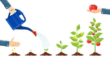 Illustration pour Growth of plant in pot, from sprout to vegetable. - image libre de droit