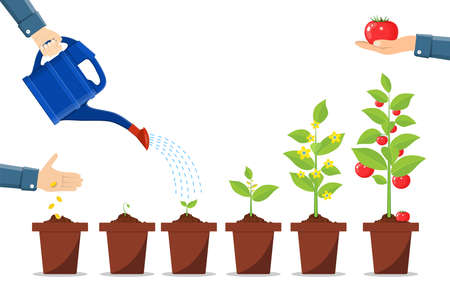 Illustration for Growth of plant in pot, from sprout to vegetable. - Royalty Free Image