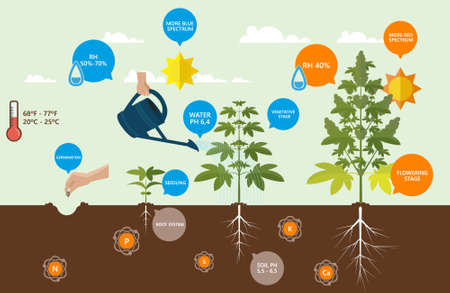Illustrazione per Outdoor Cannabis Growing infographics. - Immagini Royalty Free