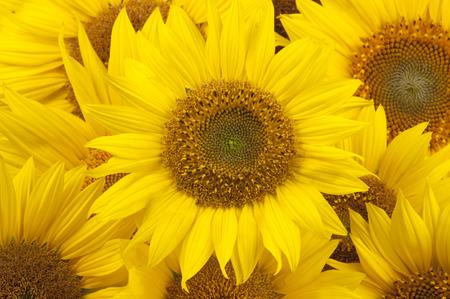 Photo pour Sunflowers closeup - image libre de droit