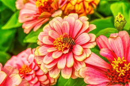 Photo for Bee eating pollen from zinnia elegans on a nature background. - Royalty Free Image
