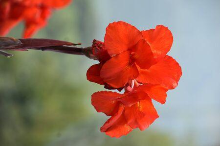 Photo pour A Pretty Red Flower Outdoor Plant - image libre de droit