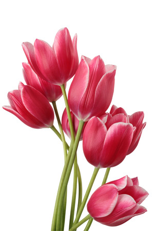 Photo for Bouquet of tulip on a white background. Clipping path - Royalty Free Image