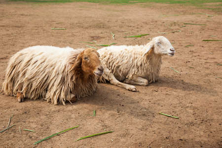 Two sheep are resting on the lawn