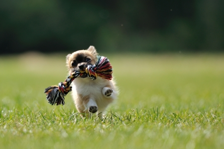 Photo pour Chihuahua puppy play game with rope toy in woman hand on a green grass - image libre de droit