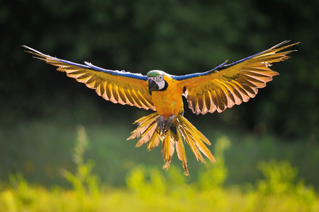 Front view on landing blue-and-yellow Macaw - Ara ararauna with green