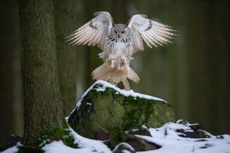Foto de Landing western siberian eagle owl on snowy rock - Imagen libre de derechos