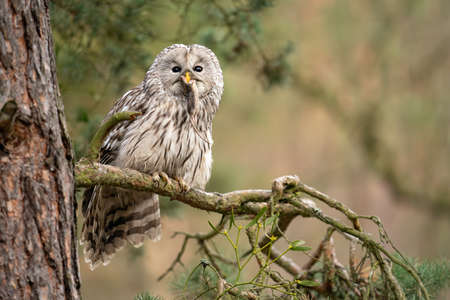 Photo pour Owl sitting on a coniferous tree with haunted mouse in his beak. Strix uralensis - image libre de droit