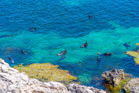 Photo pour Sea lions playing in water near cathedral rock at Rottnest island in Australia - image libre de droit