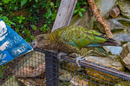 Photo pour Kea parrot at Kiwi birdlife park in Queenstown, New Zealand - image libre de droit