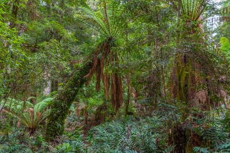 Trees at Tarkine forest in tasmania, Australia
