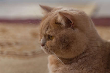 Cute calm british cat redhead in the sun