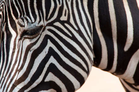 Zebra Close-up Wall Mural
