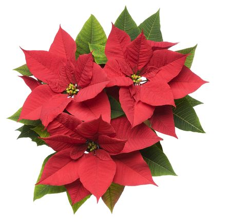 Poinsettia plant isolated on white close up