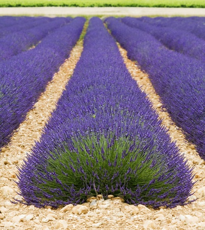 Beautiful purple lavender field in provence - France