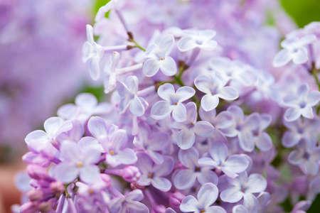 Foto für beautiful lilac flowers in garden - Lizenzfreies Bild